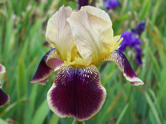 Iris variegata beige et violet - Flora [identification en cours] - Page 2 Purple10