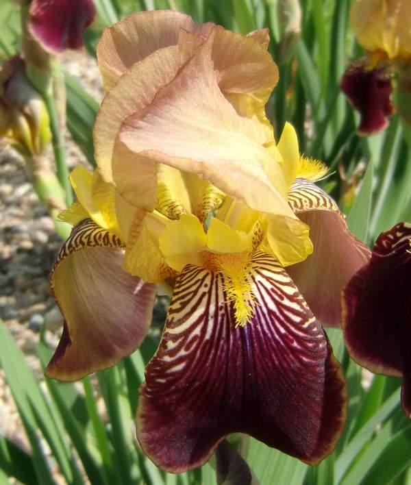 Iris variegata beige et violet - Flora et Lilou [identification en cours] Sudan10