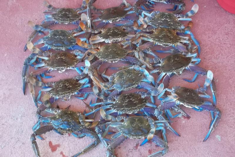 Christmas crabs Sam_2012