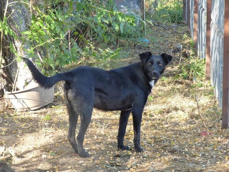 MAMBO, mâle croisé berger né mi Juin 2016 - SAUVE ÉQUARRISSAGE DE PALLADY - PARRAINE CORINA59 -R-SOS-SC 22688013