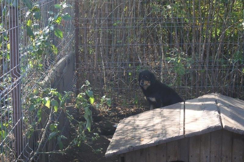 BACCARAT, mâle né en 2014, race commune noir et feu, sauvé en mars 2017 - parrainé par Toffee - R- 22769910