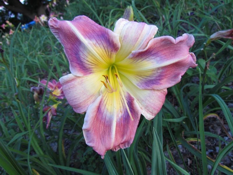 Le jardin de la Doucefolie - Mise à jour - Hémerocalles 2c99d610