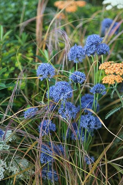 Semis d'Allium Fe1d6c10