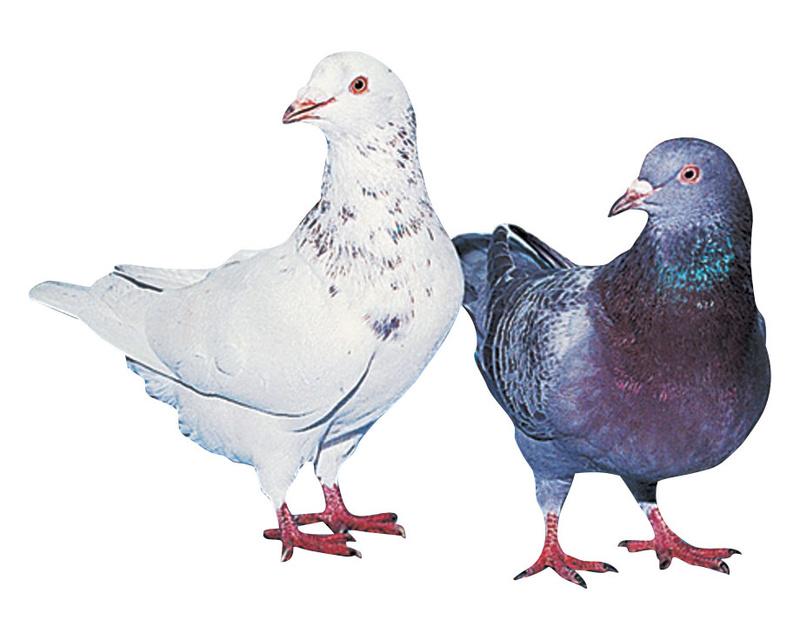 Pigeonnier : mes nouveaux amis - Page 2 Pigeon11