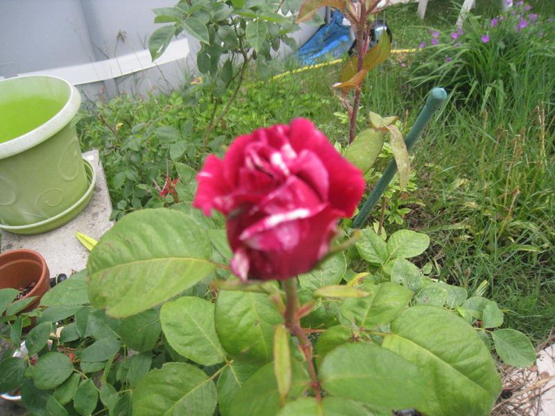 chez moi, en fleurs 00113