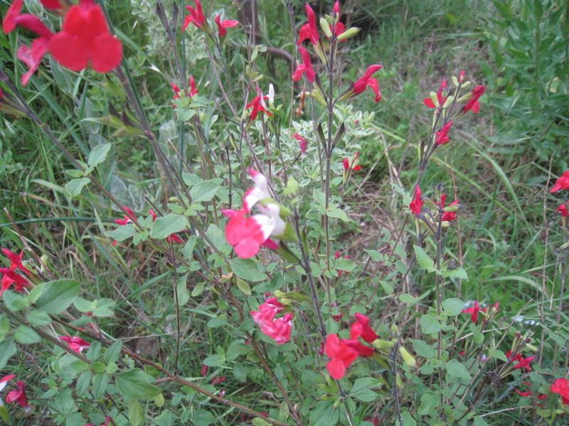 chez moi, en fleurs 00511
