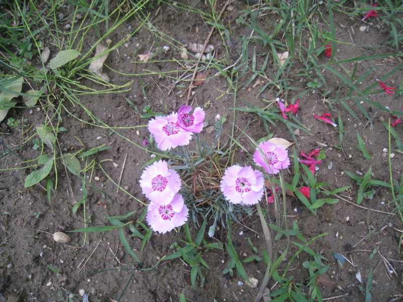 chez moi, en fleurs 00611