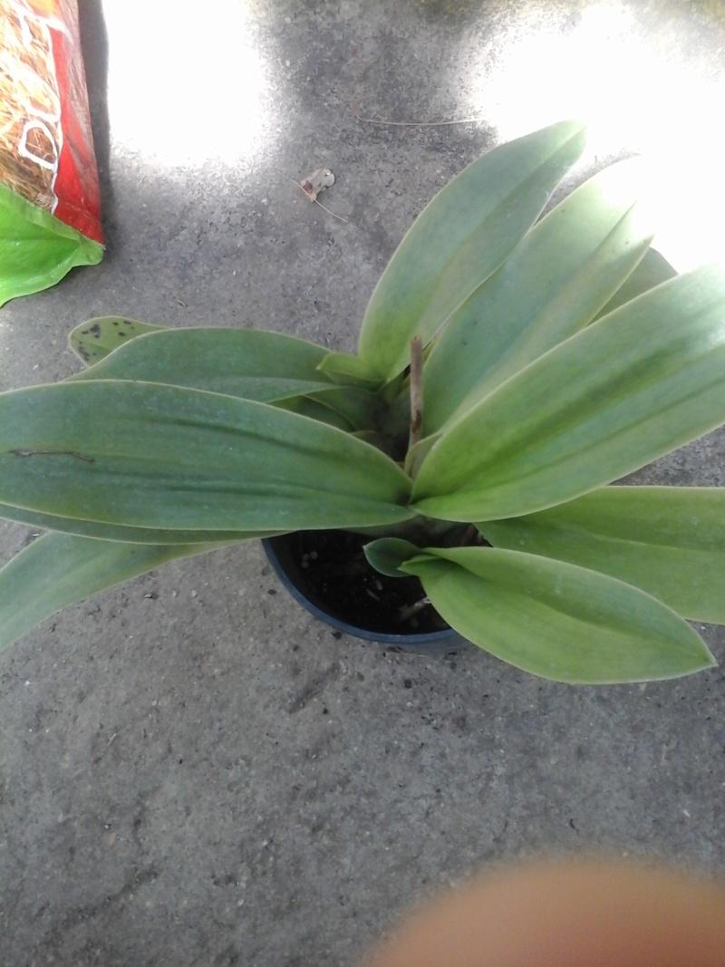 orchidée de la serre 20180416
