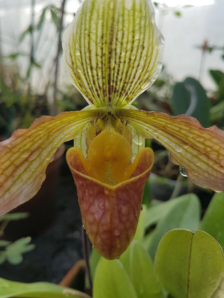 orchidée de la serre 30742511