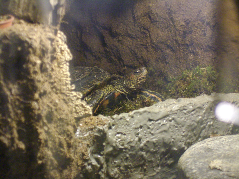 Tortues palustres-Hibernation Imgp0513