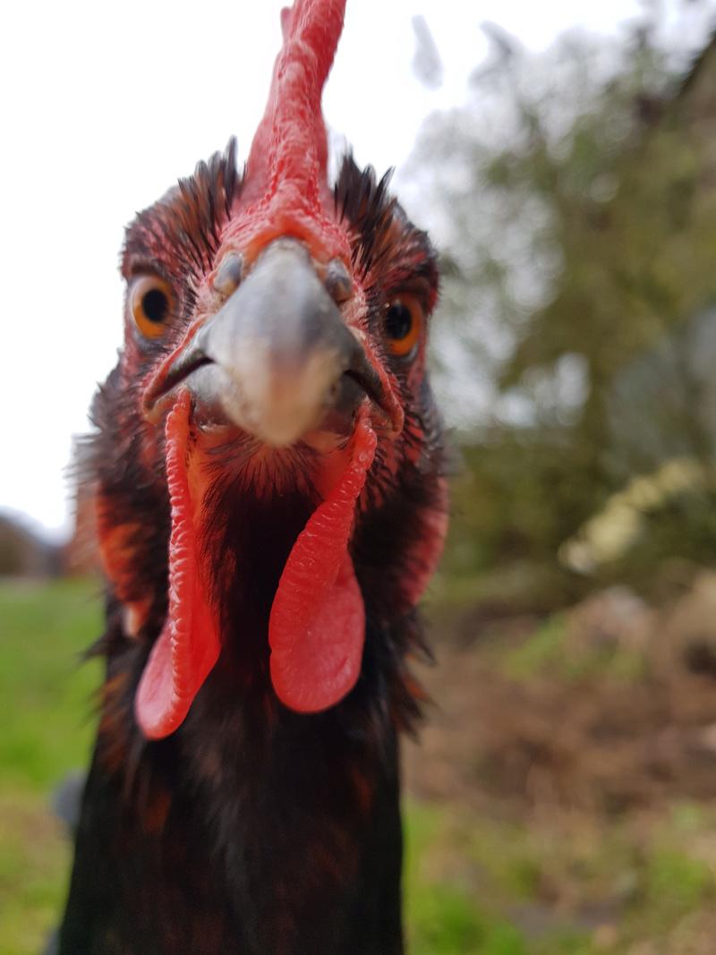 Naffisatou est au paradis des gentilles petites poules  20180365