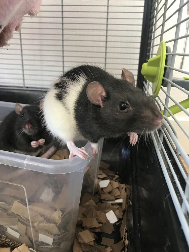 [44 Nantes] Recherche famille aimante pour 2 rates Rats110