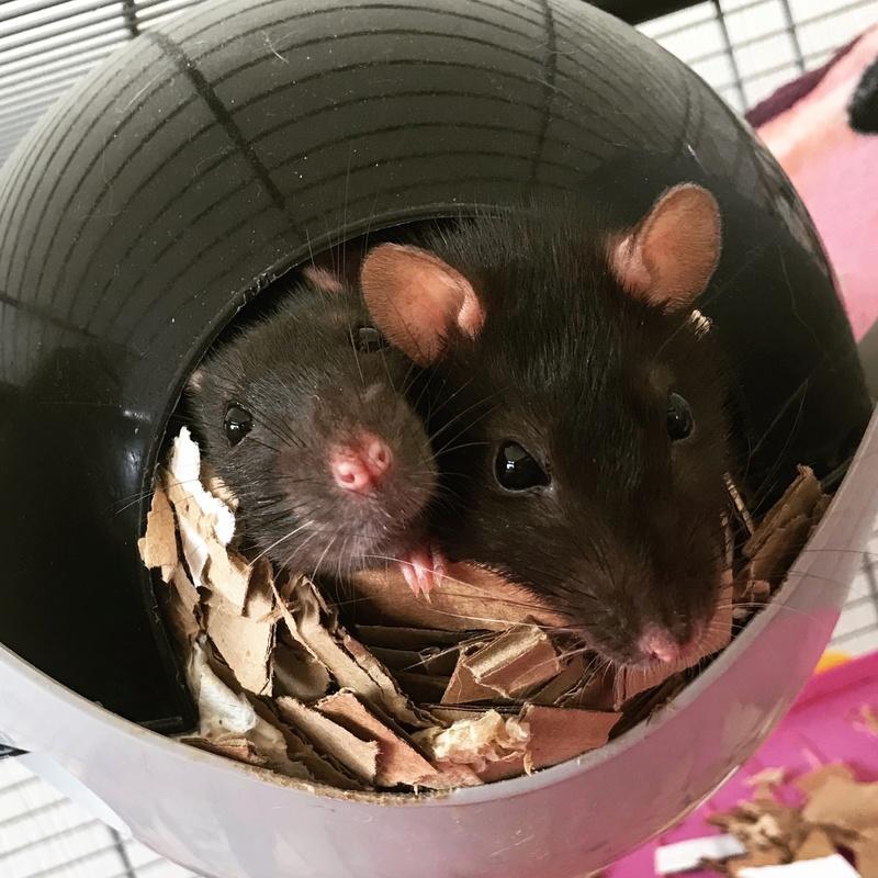 [44 Nantes] Recherche famille aimante pour 2 rates Rats210