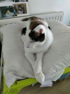 INVICTUS, chat européen marron&blanc, né en 2013, en FA longue durée 15200810