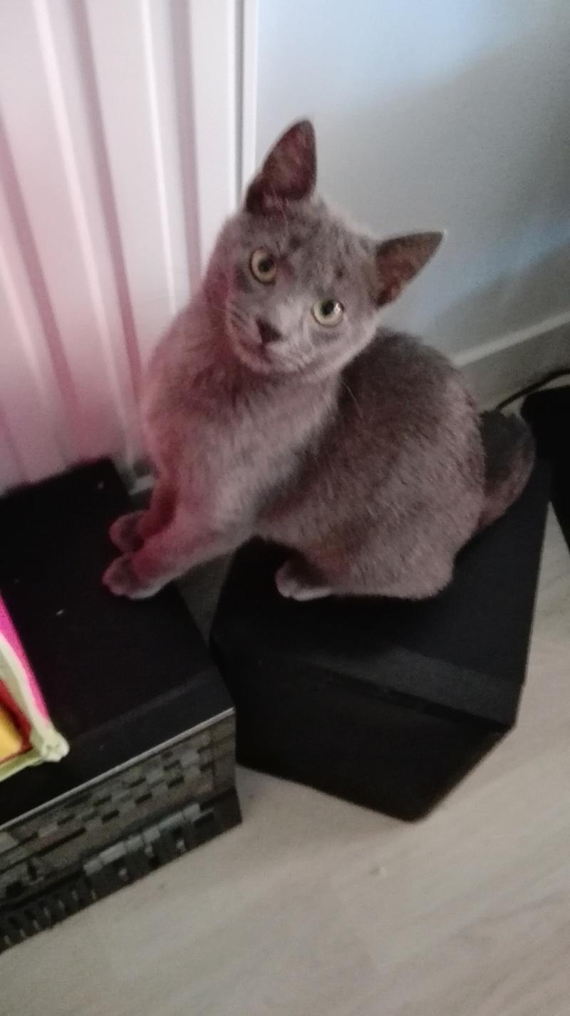 nieko - Nieko chaton mâle de couleur gris né le 1er/ 07/2017 Img_2024