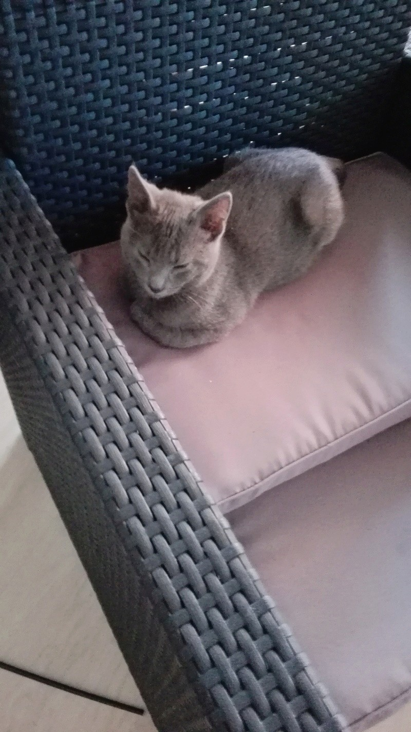 nieko - Nieko chaton mâle de couleur gris né le 1er/ 07/2017 Img_2025
