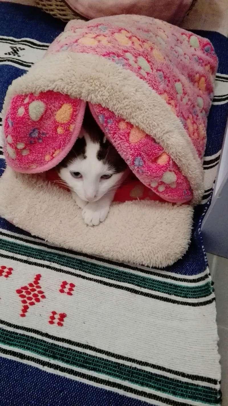 INVICTUS, chat européen marron&blanc, né en 2013, en FA longue durée Img_2052