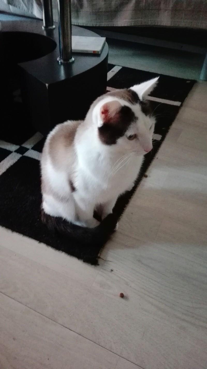 INVICTUS, chat européen marron&blanc, né en 2013, en FA longue durée Img_2053