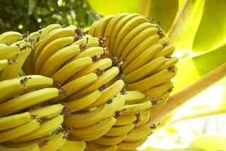 Thème 2 : Plantes à fruits comestibles : Chapitre 7 : Banane Banane11