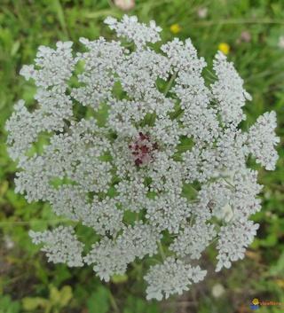 Thème 1 : Plantes légumineuses : Chapitre 4 : Carotte  Carott14