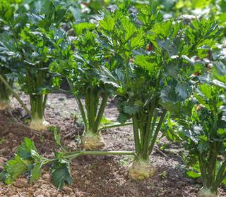 Thème 1 : Plantes légumineuses : Chapitre 5 : Céléri Celeri11