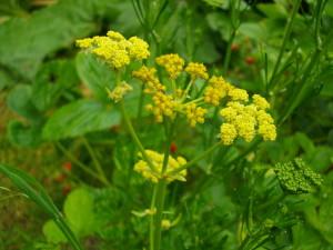 Thème 1 : Plantes légumineuses : Chapitre 5 : Céléri Celeri12