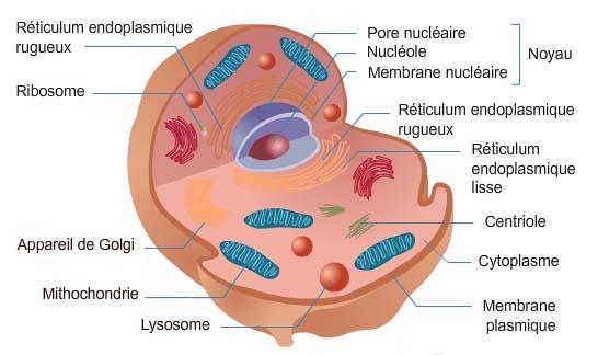 Thème 4 : La cellule végétale et animale : Chapitre 1 : la cellule animale : composition Cellul10