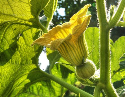 Thème 1 : Plantes légumineuses : Chapitre 1 : Citrouille  Citrou12