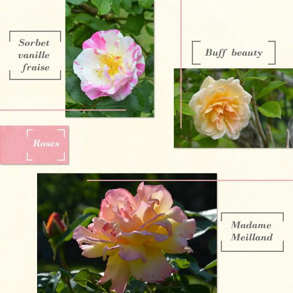 Challenge VISITEURS n° 11 - TITRE Roses_13