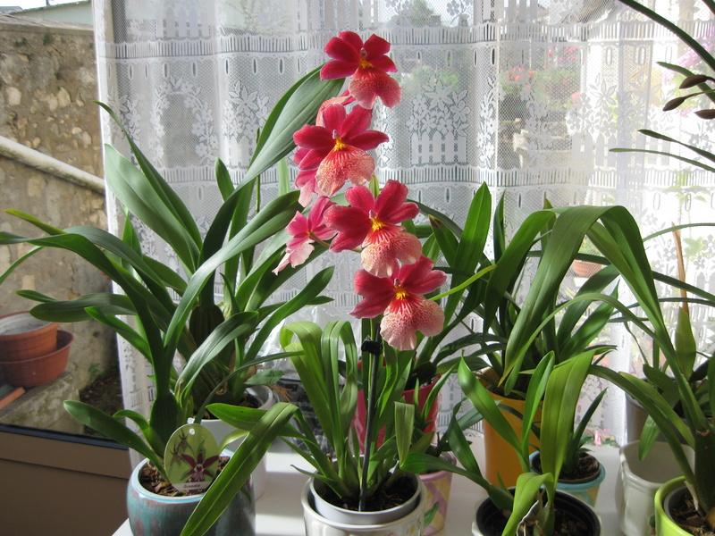 Floraisons d'intérieur  - Page 6 Brassi10
