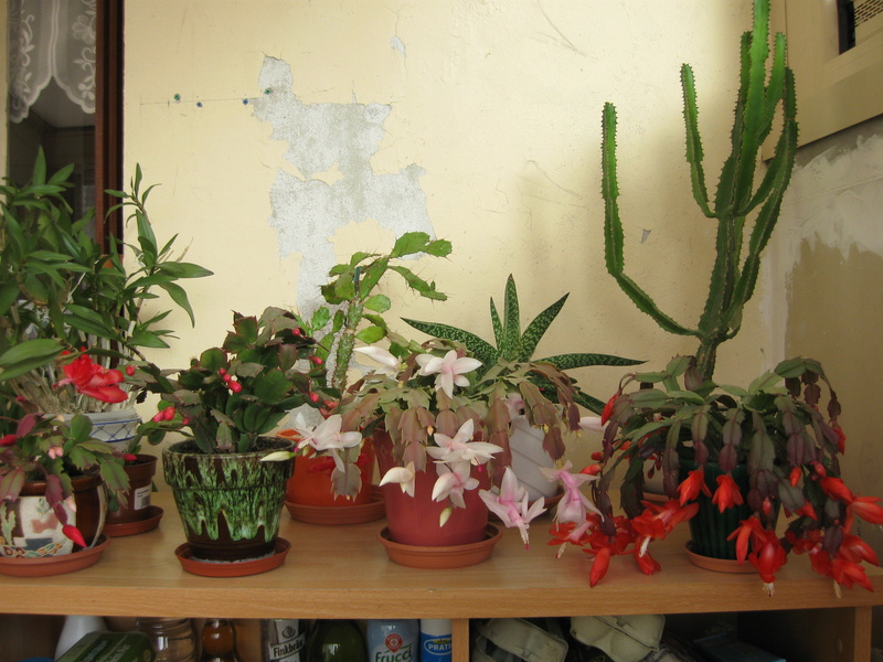 Floraisons d'intérieur  - Page 6 Cactus10