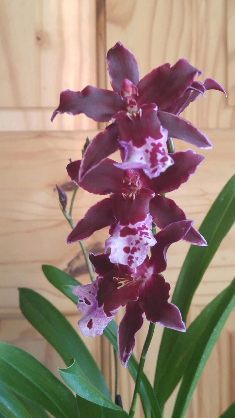 Les Orchidées chez Ola. Premiere experience  - Page 6 Image126