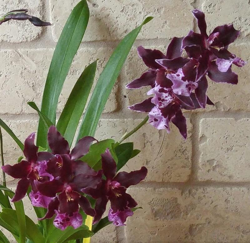Les Orchidées chez Ola. Premiere experience  - Page 6 Image161