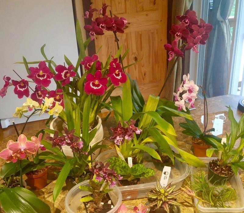 Les Orchidées chez Ola. Premiere experience  - Page 7 Image171