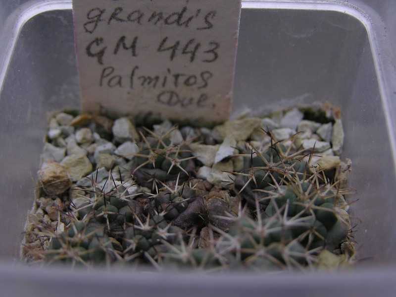 Cactus under carbonate. Seedlings. 2 Cor_gr11