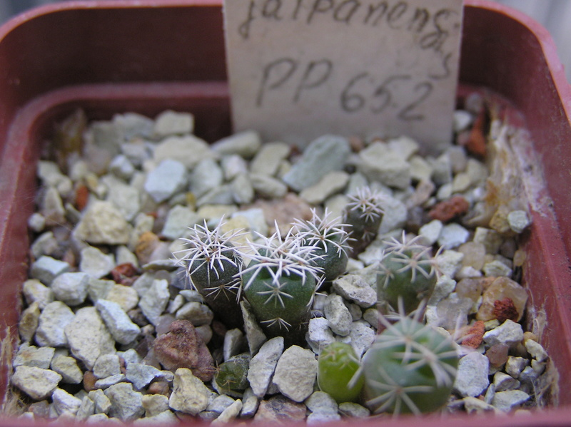 Cactus under carbonate. Seedlings. 2 Cor_ja11