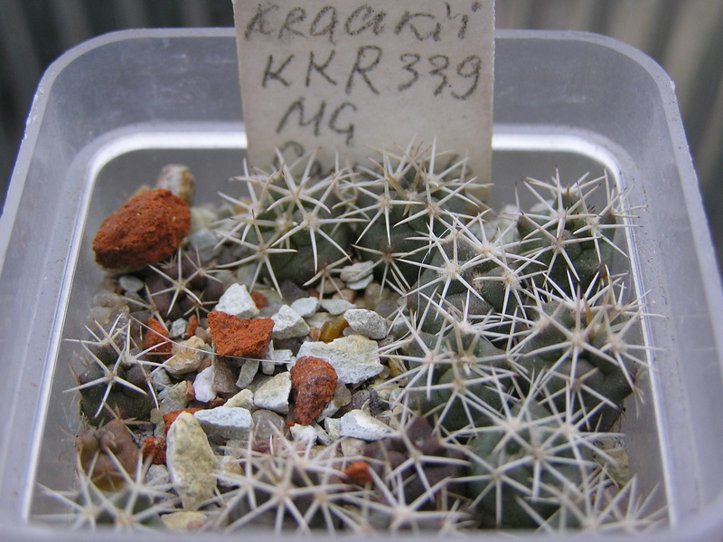 Cactus under carbonate. Seedlings. 2 Cor_kr11