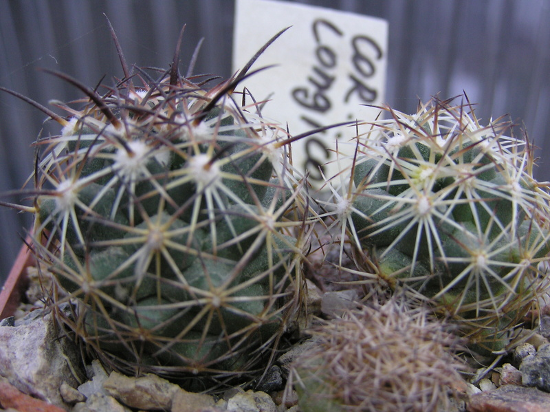 Cactus under carbonate. Seedlings. 2 Cor_lo10