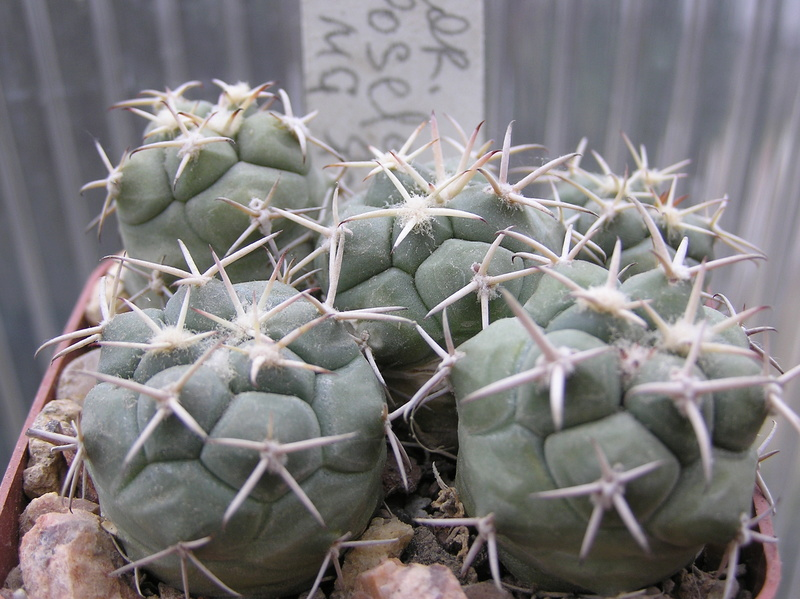 Cactus under carbonate. Seedlings. 2 Cor_po13
