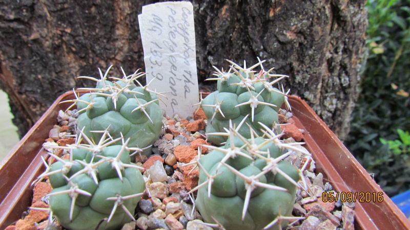 Cactus under carbonate. Seedlings. 2 Cor_po17