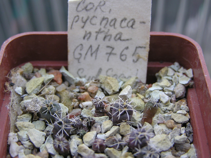 Cactus under carbonate. Seedlings. 2 Cor_py10