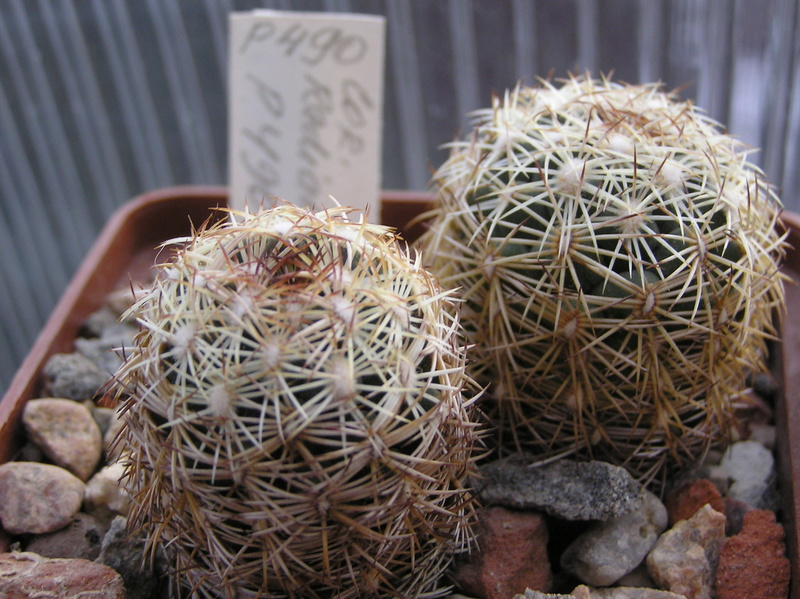 Cactus under carbonate. Seedlings. 2 Cor_ra14