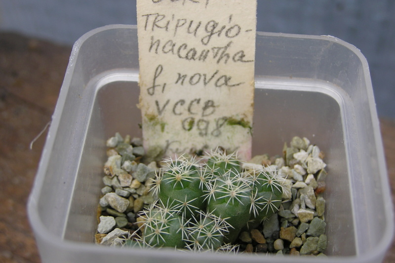 Cactus under carbonate. Seedlings. 2 Cor_tr13