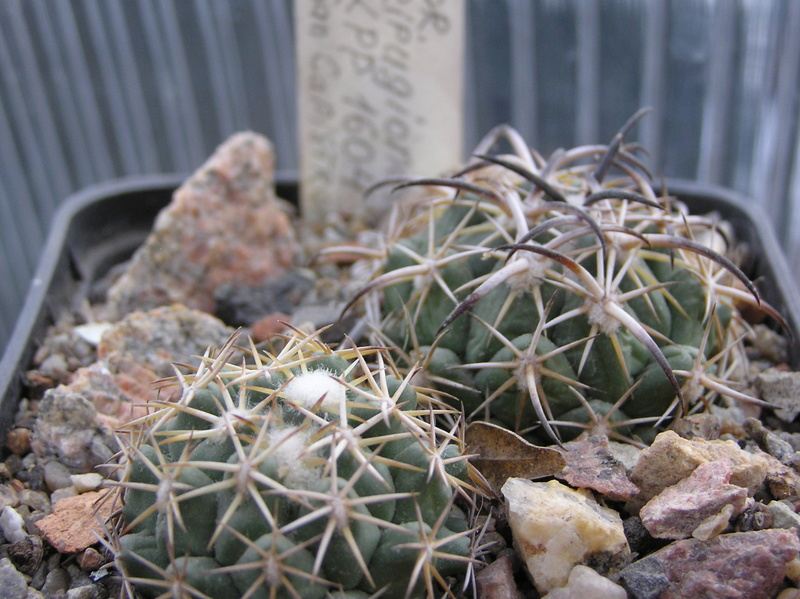 Cactus under carbonate. Seedlings. 2 Cor_tr14