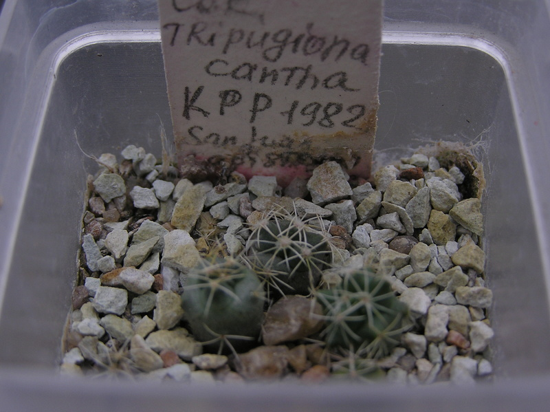 Cactus under carbonate. Seedlings. 2 Cor_tr15