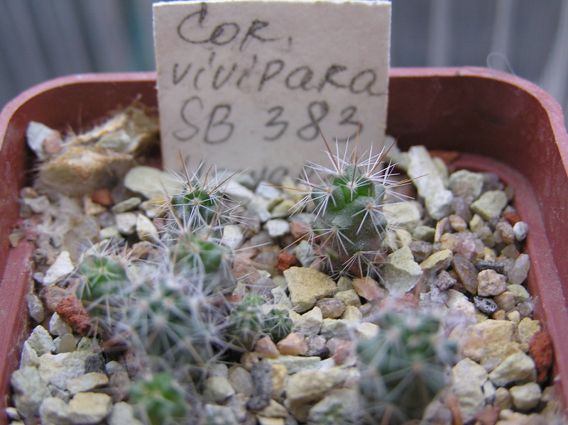 Cactus under carbonate. Seedlings. 2 Cor_vi16
