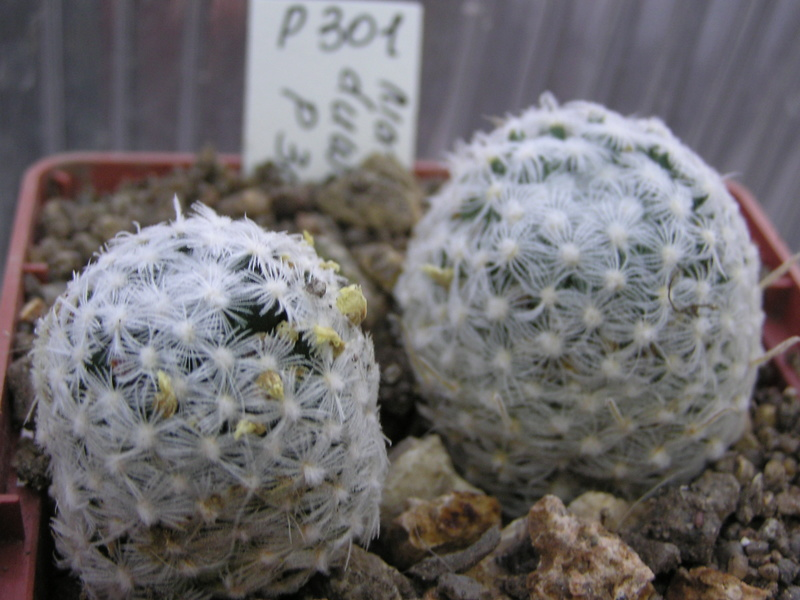 Cactus under carbonate. Seedlings. Duwei_11