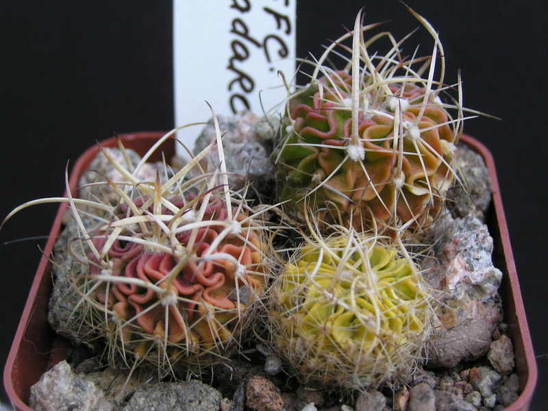 Cactus under carbonate. Seedlings. 2 Efc_ca10