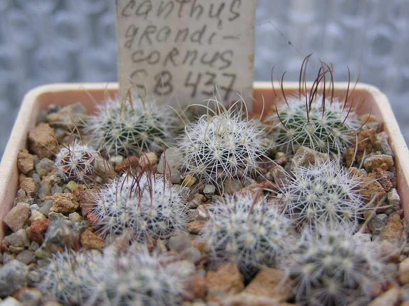 Cactus under carbonate. Seedlings. 2 Efc_gr10