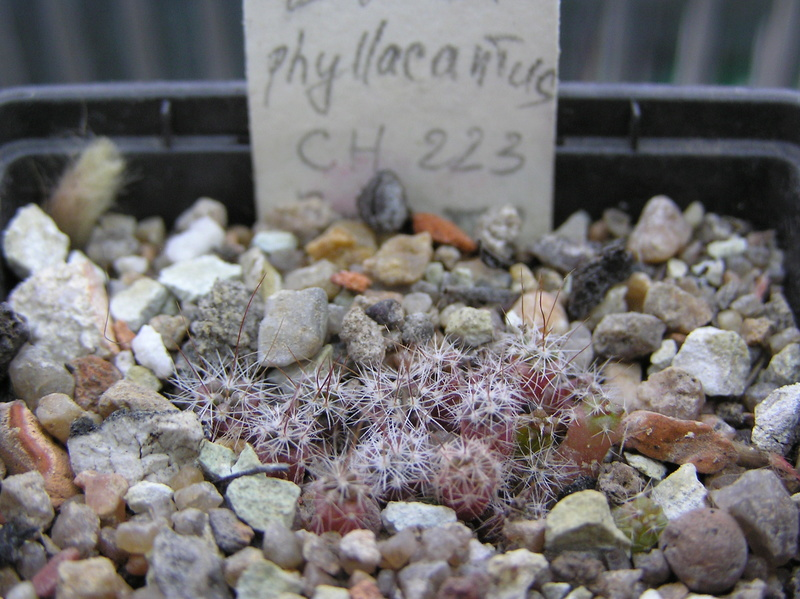 Cactus under carbonate. Seedlings. 2 Efc_ph11